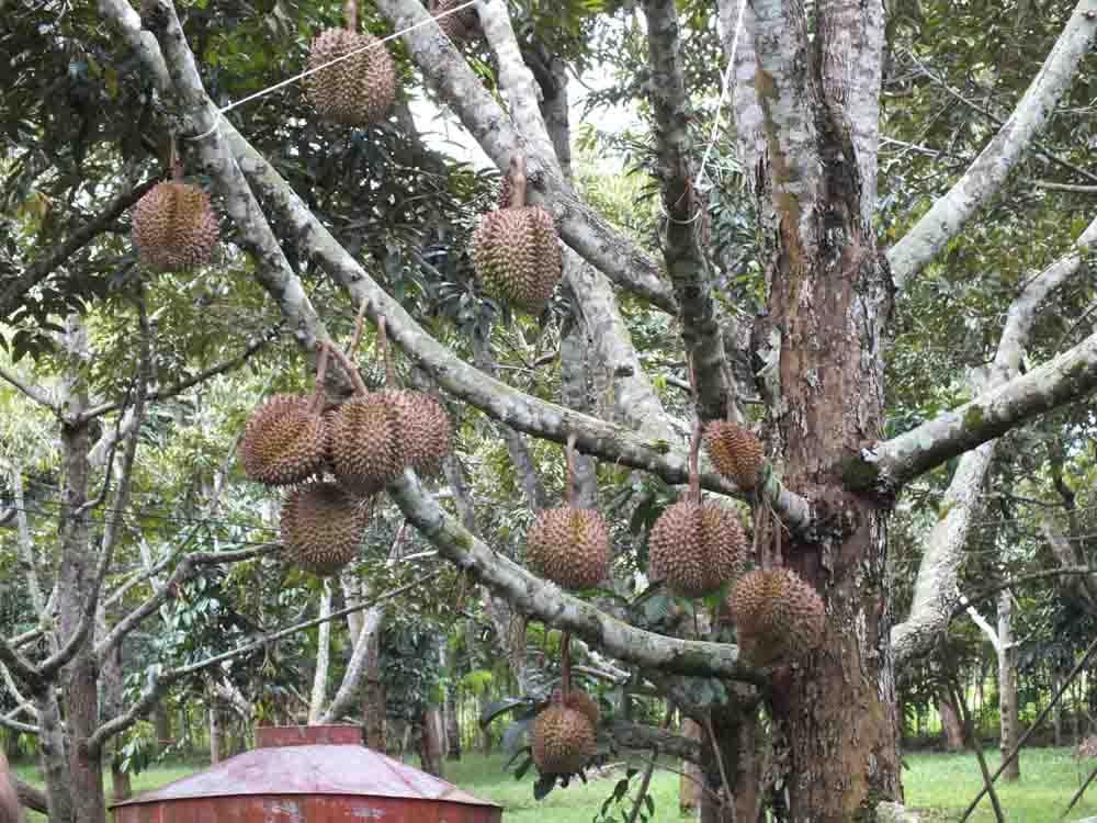 ветви дуриана